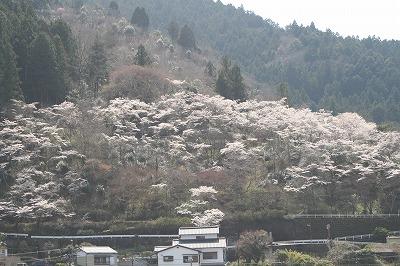 本山の桜5