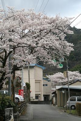 本山の桜3