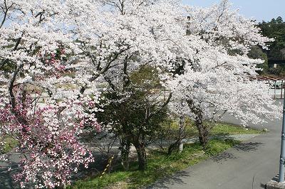 本山の桜7