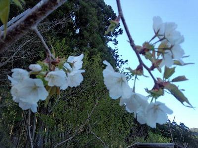 大河様の桜2