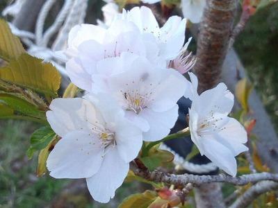 大河様の桜