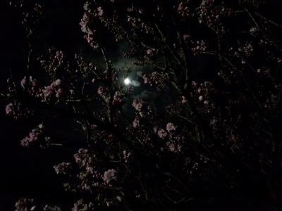 桃の華と月