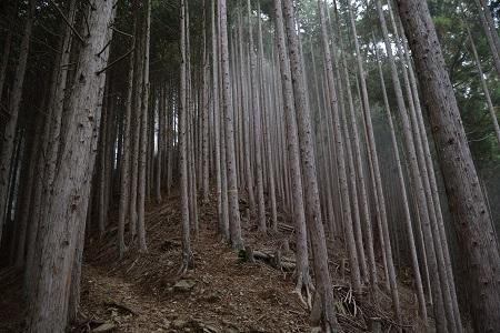 杉の登山道