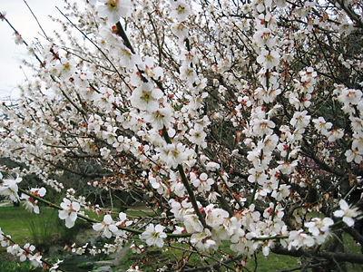 京都御苑 梅の花