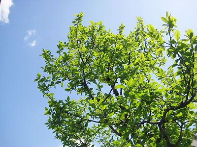 こぶしの緑
