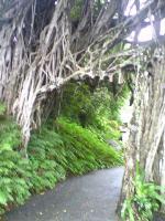 ガジュマルの木4