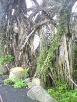 ガジュマルの木2