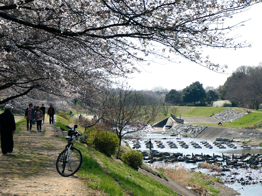 柳瀬川、中里地区の桜-03