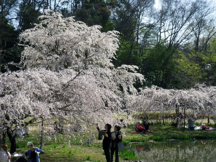 金山緑地公園の枝垂桜