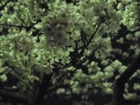 20140402川崎桜 (4)