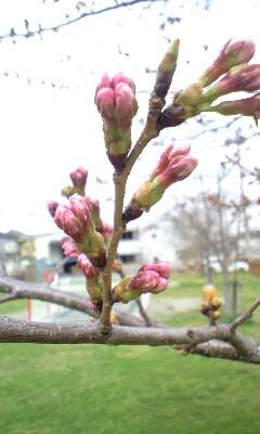 20100326の桜