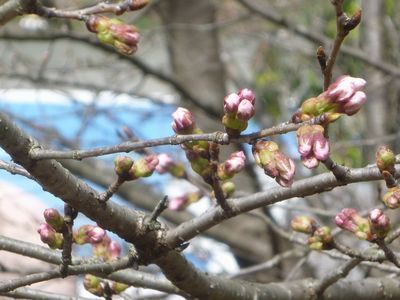2013年3月16日現在(桜)