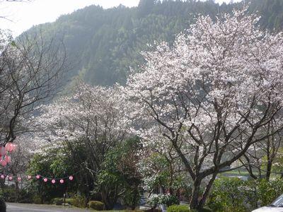 2013年4月19日桜 001