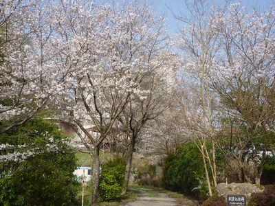 2013年4月19日桜 002