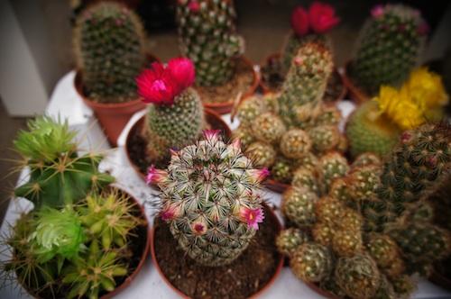 cactus10.jpg