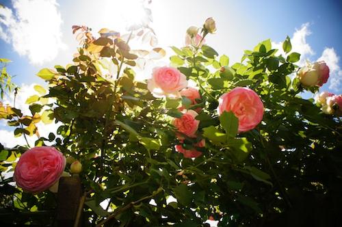 rose071.jpg