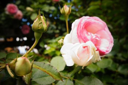 rose072.jpg