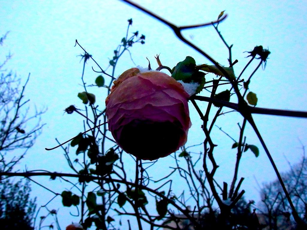 roseneigee.jpg