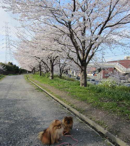 47sakura5.jpg