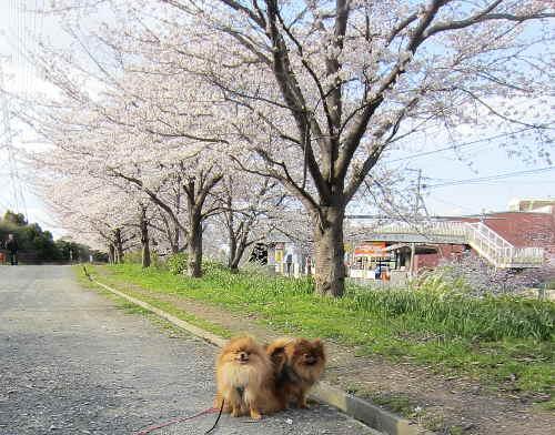 47sakura6.jpg