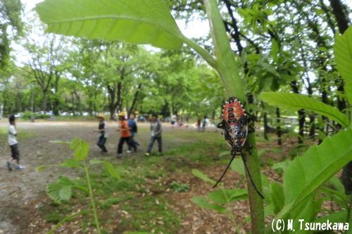 120501kunugikamemushi0035.jpg
