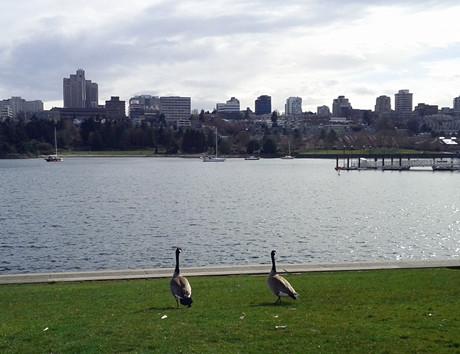 正在吃草散步中的加拿大雁