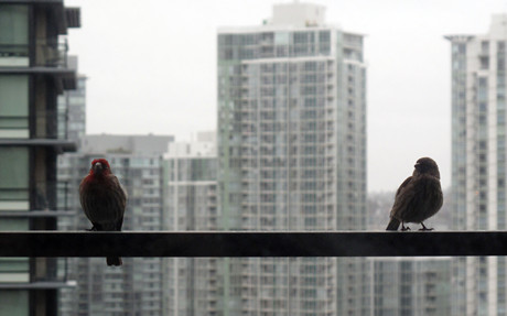 停在我家露台上的一對紅色小鳥