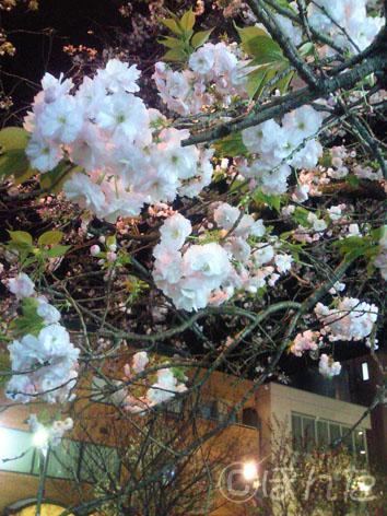 八重桜2010