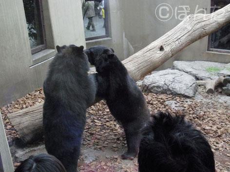ツキノワクマさん_立っち
