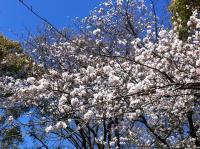 Sakura_convert_20110404192551.jpg