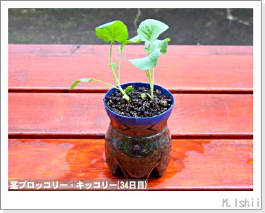 ペット栽培III(茎ブロッコリー)12