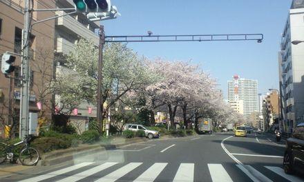 100403_中野通りの桜~02