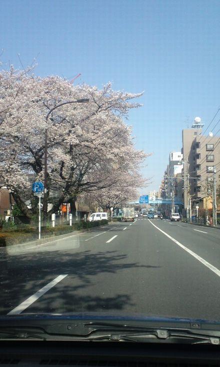 100403_中野通りの桜~01