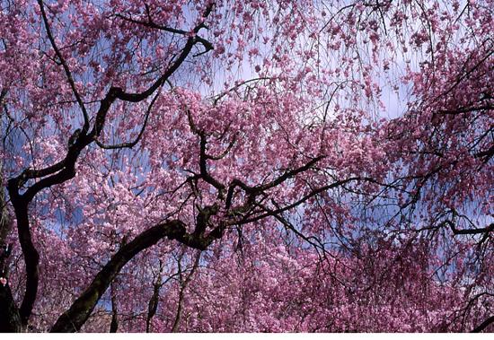rain of sakura