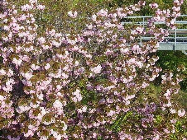 ボタン桜4・20