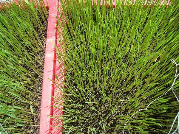 コシヒカリの緑化苗