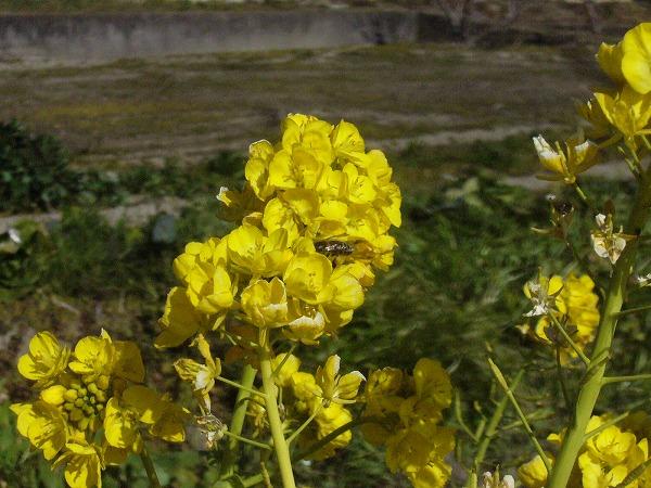 菜の花と蜜蜂26.1.25