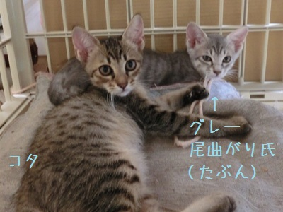 8月の子猫 コタグレ曲り