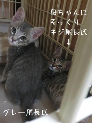 8月の子猫 グレ長キジ長