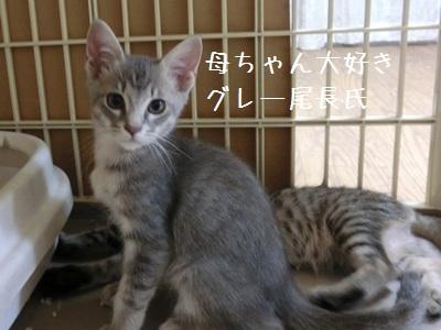 8月の子猫 グレ長