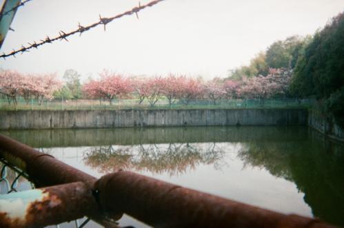 桜の覗き見