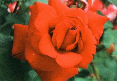 真赤なバラ
