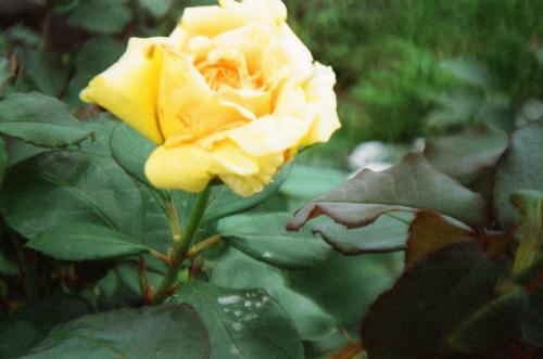 きいろのバラ