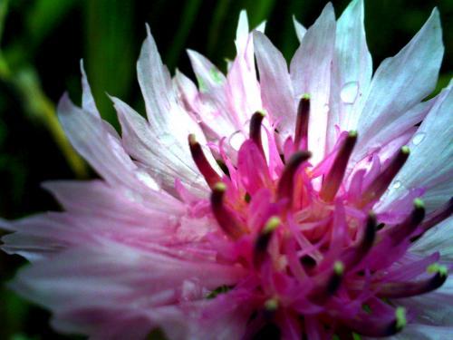 妖精の花 ピンク
