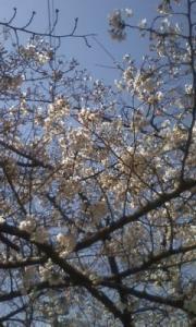 1003桜