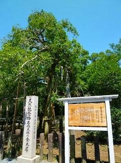 三島 金木犀 天然記念物 三嶋大社