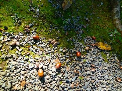楽寿園 平成23年 秋 どんぐり 三島市