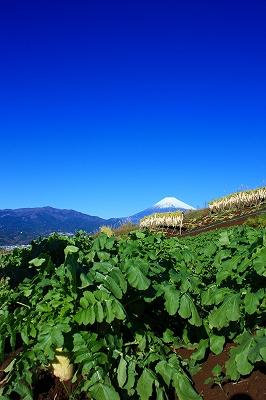 富士山 芙蓉台 三島 箱根西麓三島野菜 大根