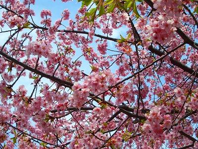 平成24年度 桜 三島市 開花 3月