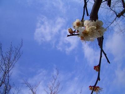 2012 3月 三嶋大社 梅 静岡 開花
